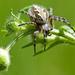 Križiak skvostný (Aculepeira cer