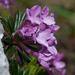 Daphne arbuscula /lykovec muráns