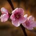 Peach kvet