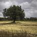 Olive Tree - Cyprus