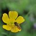Včela2