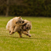 Cairn terrier fight