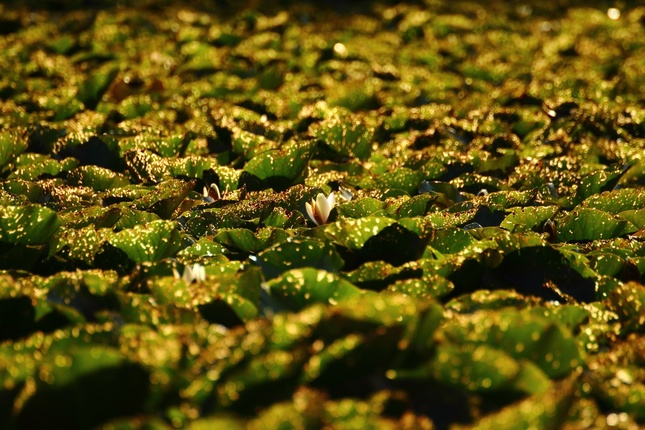 vodný koberec