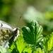 Butterfly III.