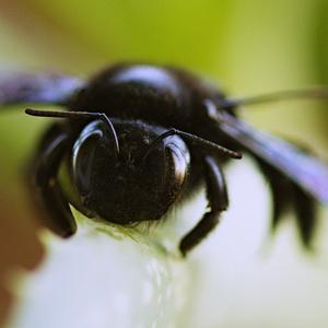 Xylocopa violacea