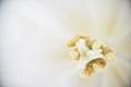 tulipan_1_hk