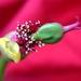 vianočná ruža II