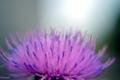 bodliak-kvet
