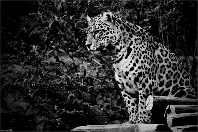 Africanblack mačička