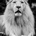 Lev kral zvierat