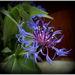modry kvet