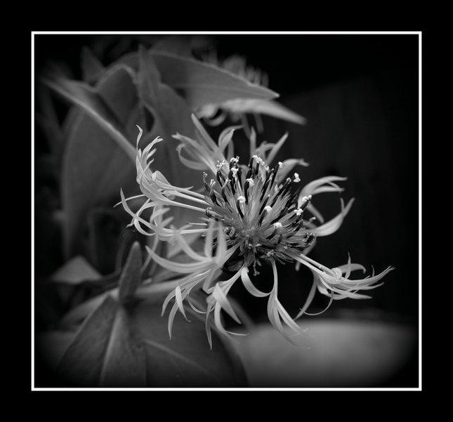 cierny kvet