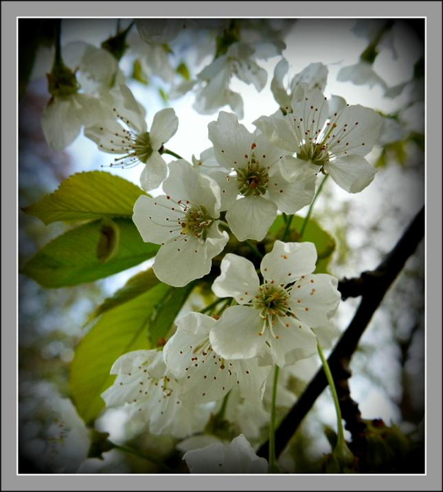 kvet slivky