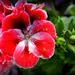 krasa kvetu