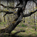 zomierajuci strom