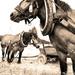 100 ročné kone