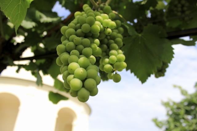 kde sa rodí dobré vínko
