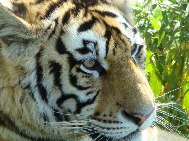 Tigre v Cine