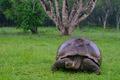 Galapážska kosačka