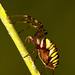 Kriziak pasavy (Argiope bruennic