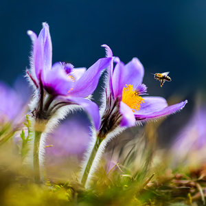 Jarný nektár