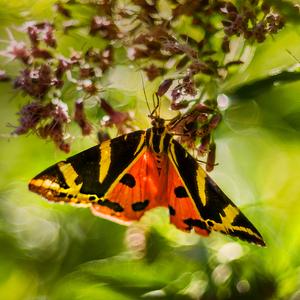 Tajomný motýľ