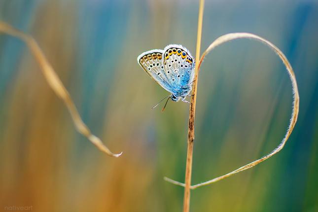 Motýlie srdce