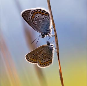 Blízkosť motýlieho druhu