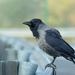 Vrana popolavá Corvus cornix
