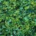 Zelený zraz