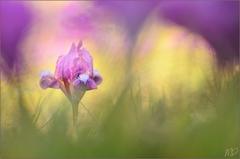 ~ Iris ~