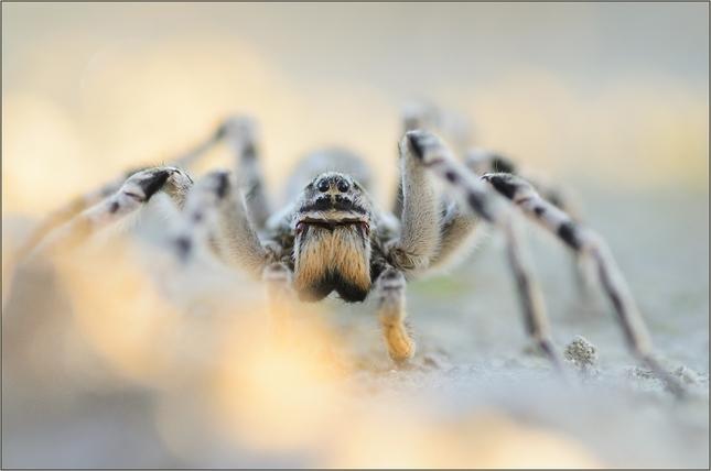 náš najväčší pavúk...