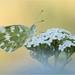 Mlynárik rezedový (Pontia edusa)