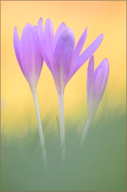 ~ autumn crocus ~