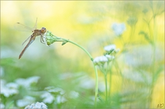 ~ Dragonfly ~