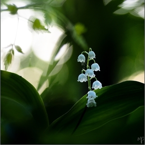 ~ Lily of the valley ~