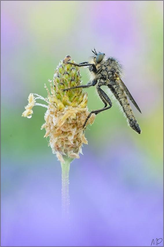 ~ Robberfly ~