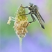 ~ Robberfly ~