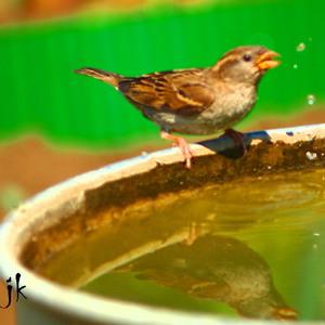 Smädný, vrabec