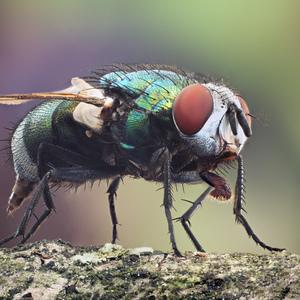 Bzučivka zelená (Lucilia sericat