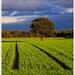 Jesenné zelené pole ...