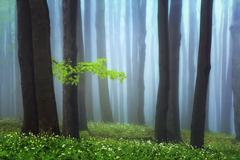 Jarné lesné hmly