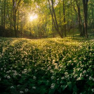 Cesnakový les