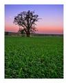 Strom samotár