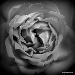 Ruža z plastiku