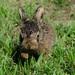 polny zajko