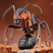 Mravec hôrny  (Formica rufa)