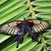 Tropický motýľ