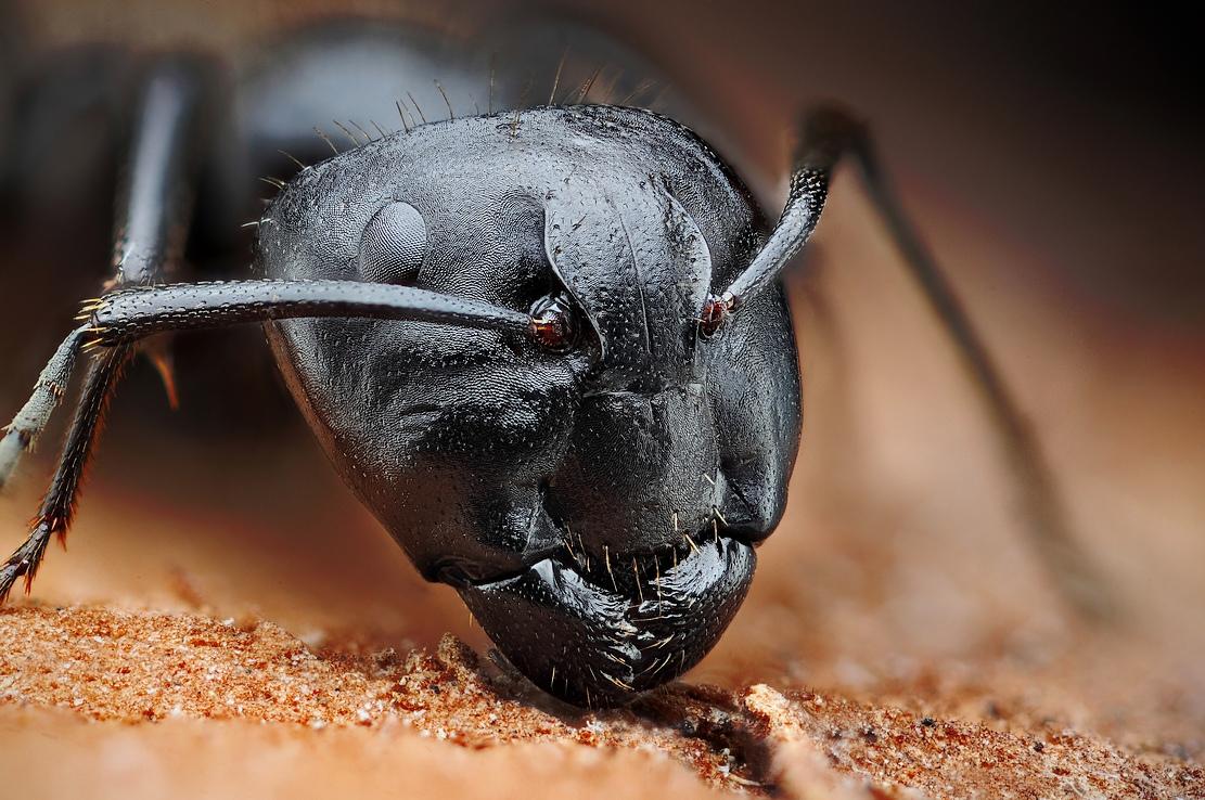 Mravec drevokaz