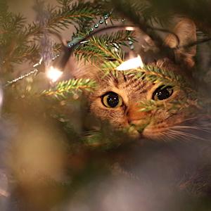 Mačka lesná vianočná
